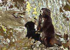 Haida, a Mount Washington Marmot, poses for the camera