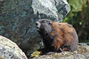 Vancouver Island Marmot Photo; Andrew A. Bryan