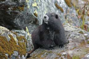 Haida, Mount Washington Marmot